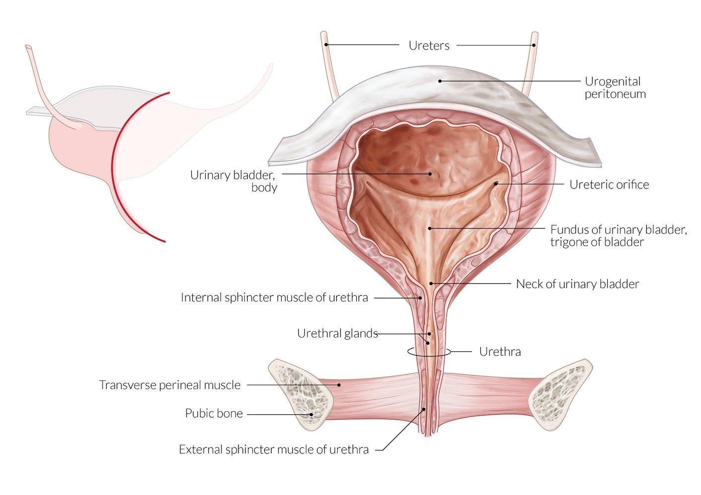 urethritis a genitális szemölcsök miatt