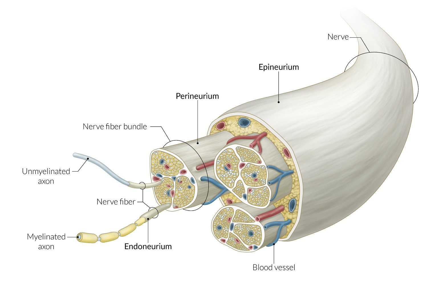 Nerve tissue, synapses, and neurotransmitters - AMBOSS