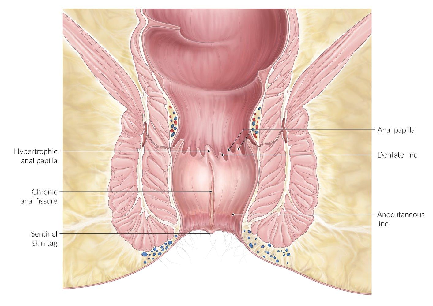Mucosa anal