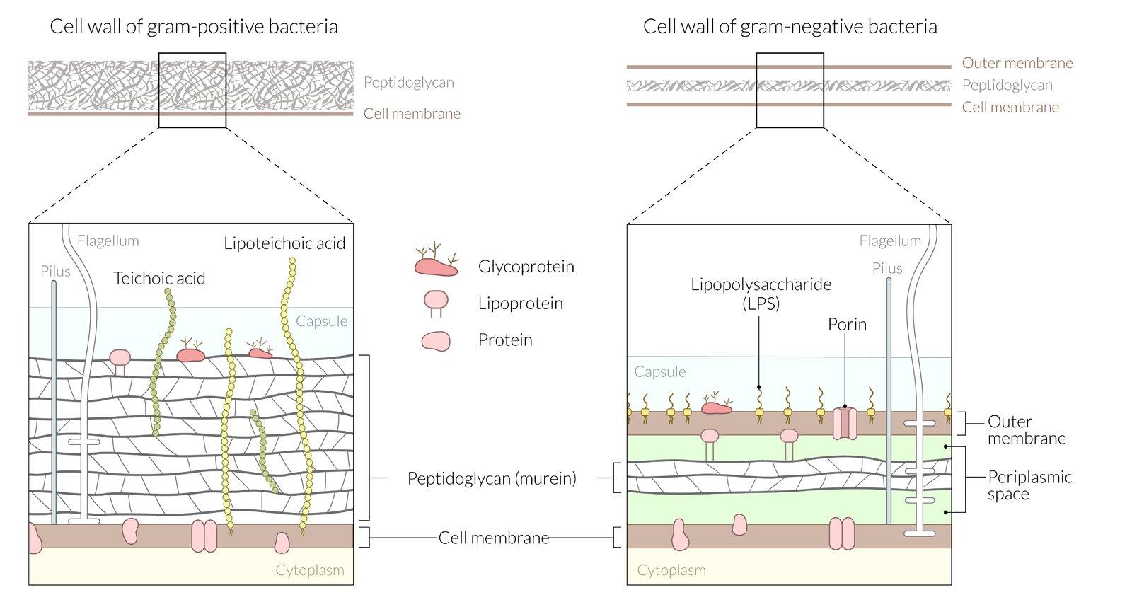 Bacteria Overview Amboss