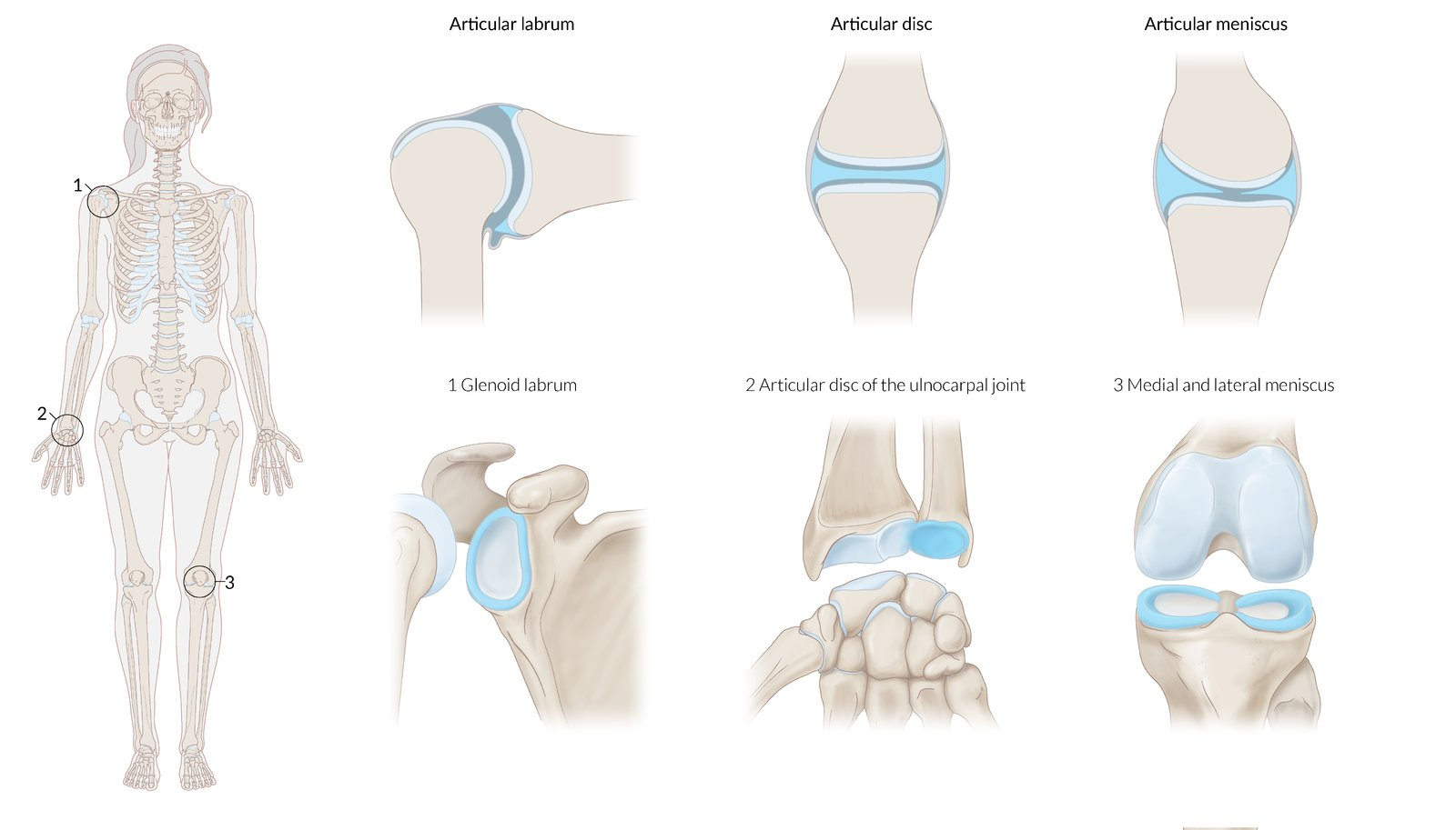 Joints Amboss Meaning of synchondrosis medical term. joints amboss