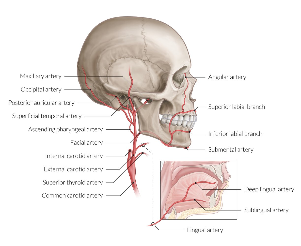 Overview of the head and neck region   AMBOSS